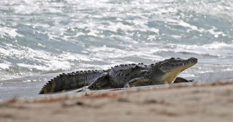 What To Do When You See A Crocodile On The Beach In Tarifa