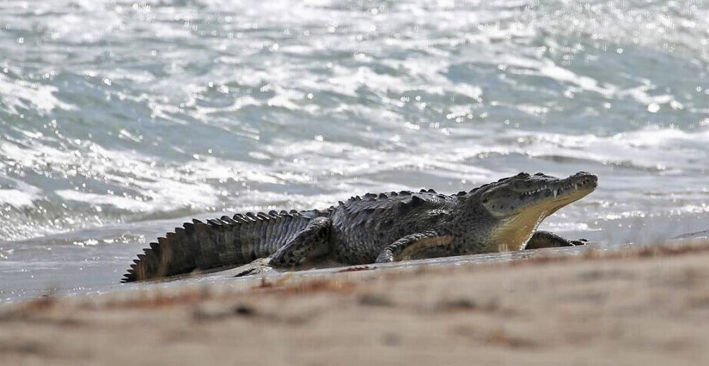 What To Do When You See A Crocodile On The Beach In Tarifa Climate Change