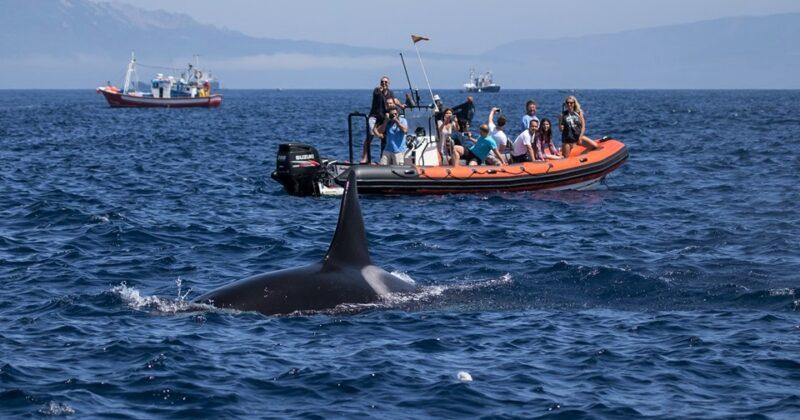 Wat Is De Beste Tour Om Walvissen Dolfijnen En Orka's Te Spotten In Tarifa
